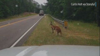 This Kangaroo, spotted off the highway, has escaped a second time this week in rural SC.