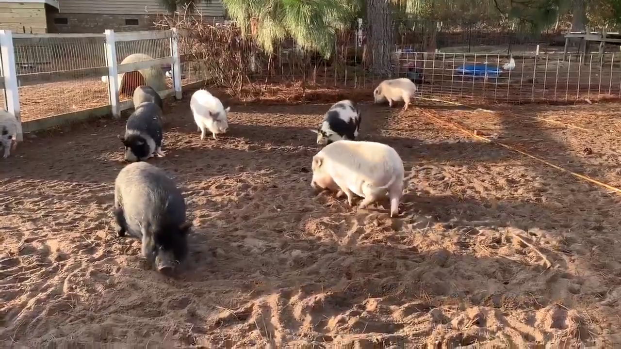 'Wanted: piggy cuddlers.' SC rescue group needs help snuggling pigs up for adoption