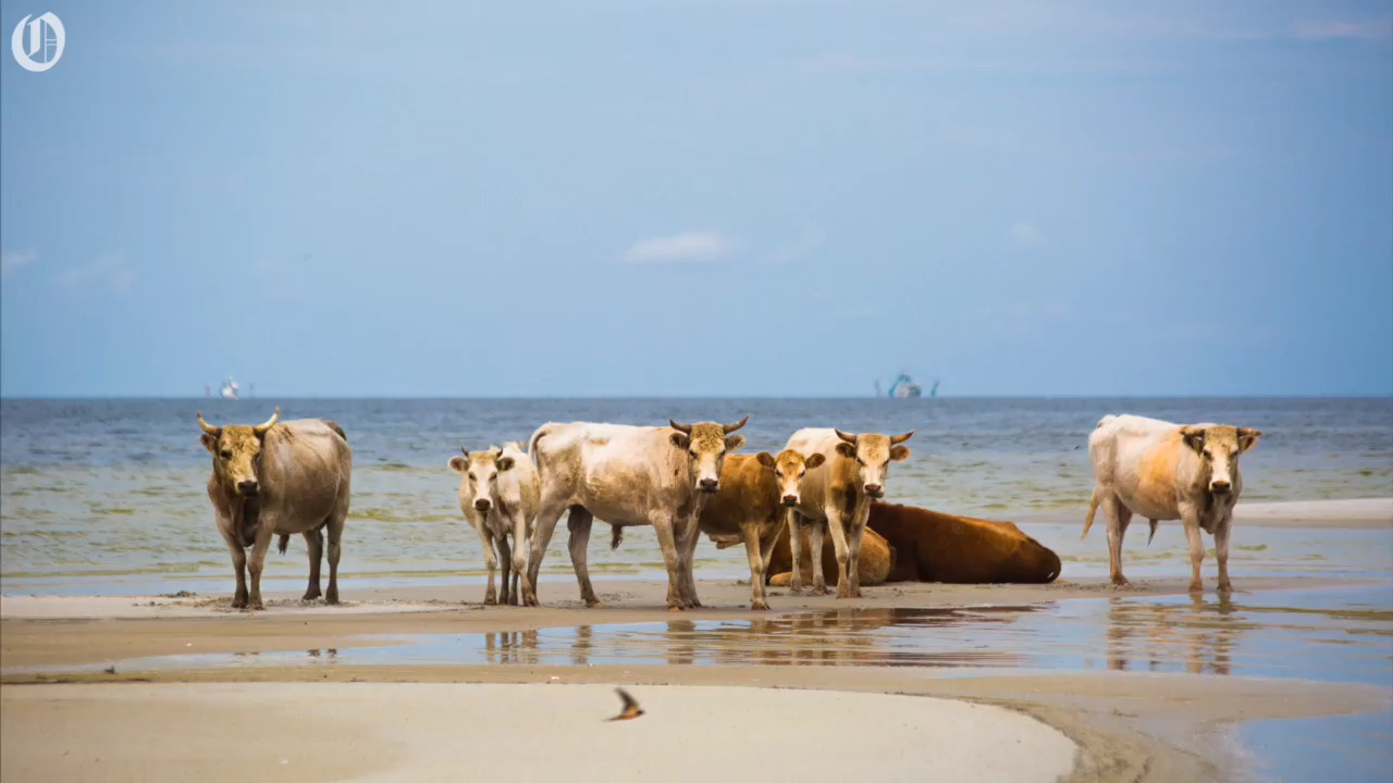 Hurricane Dorian washed these wild cows to sea. Here's how they got home