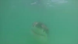 Footage shows underwater female white shark tagged off Massachusetts beach
