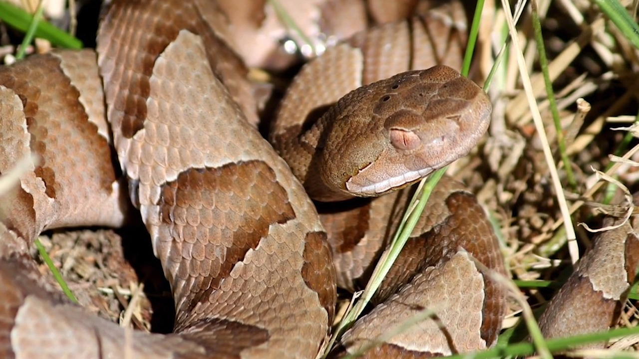 Copperheads are being implanted with trackers so Missouri scientists can study them