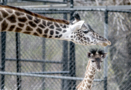 Dixie the baby giraffe makes her debut at the Kansas City Zoo
