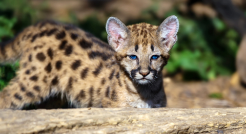 Mountain lions flirting with a comeback in Missouri   The Kansas ...