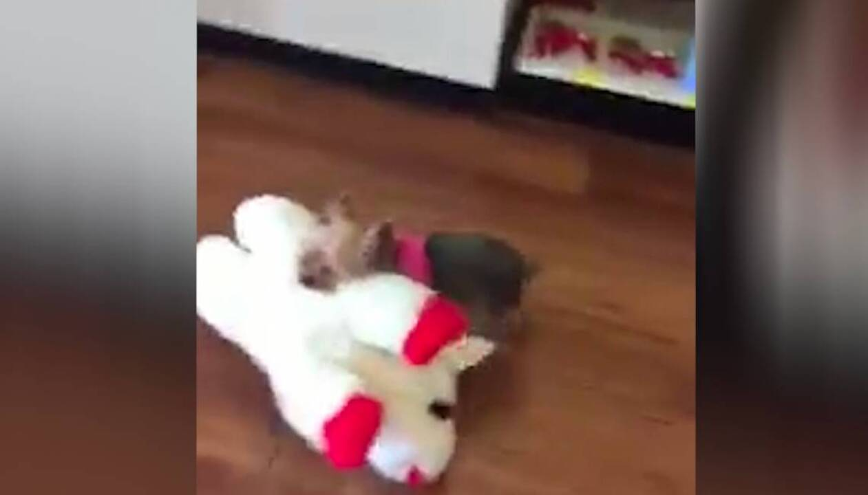 Viral Facebook Video Yorkie Dog Lucy Carries Big Toy Out Of Store