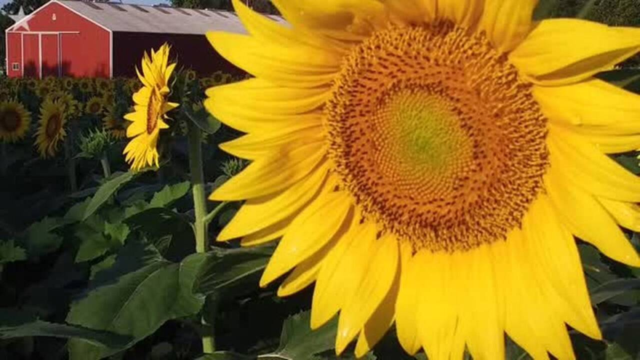 Sunflower Fields Of Grinter Farms In Kansas Are Huge Tourist Draw