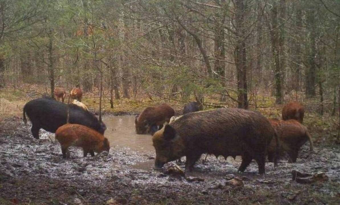 Wanting To Kill Wild Pigs Itself Missouri Bans Public Hog Hunting