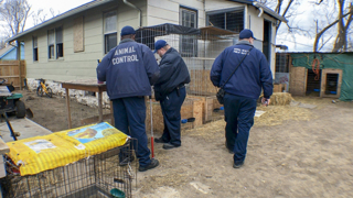 KC police seize more than 100 birds in cockfighting investigation