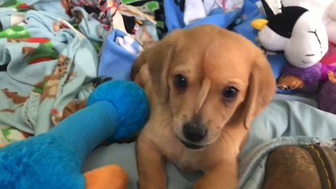 'Unicorn' puppy with an extra tail on his face is rescued in Missouri, group says
