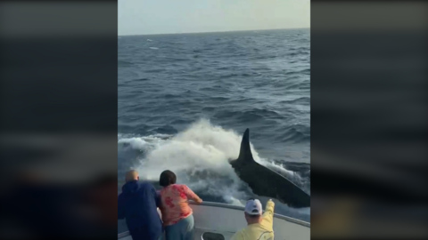 Watch killer whales make 'rare' appearance near Texas fishing boat in Gulf of Mexico