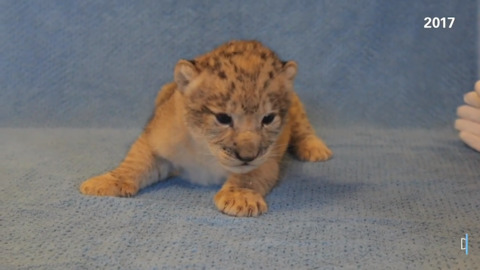 Dallas Zoo sent Disney video of this cub to inspire Simba's 'Lion King' moves
