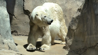 Bam Bam, one of two polar bears at the Kansas City Zoo, has died