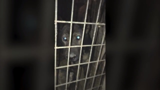 See the harsh conditions that led Missouri breeders' starving dogs to cannibalism (warning graphic content)
