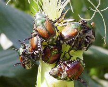Tips on how to control Japanese beetles