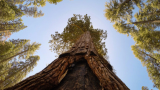 The giant sequoias were the catalyst to starting the National Park system