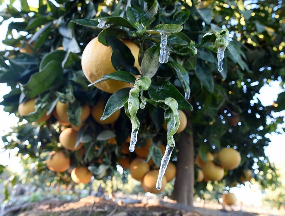Tips for properly pruning citrus trees in your garden | The