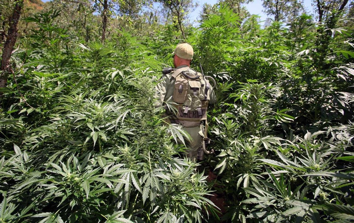 Mexican marijuana growers are poisoning Sierra with banned pesticide, task force says