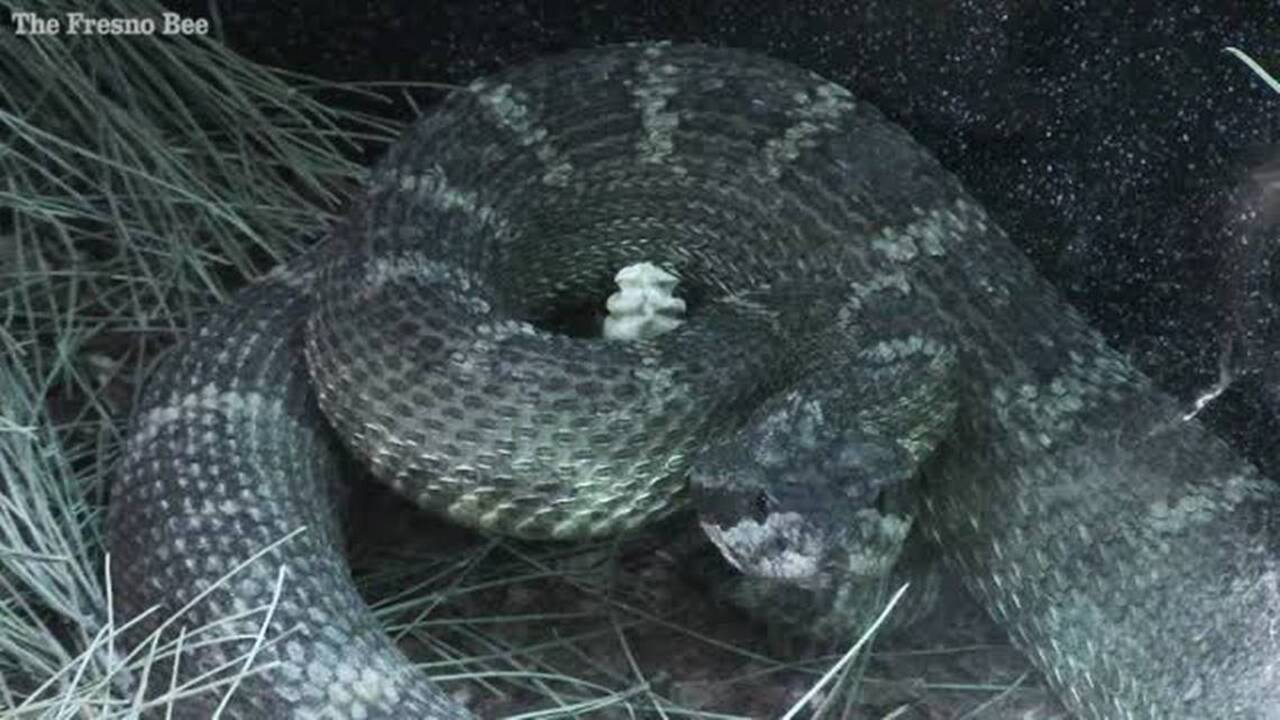 Rattlesnakes - lots of them - coming out of hibernation early in