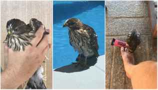 Hawk crash landed in Clovis pool drinks water from spray bottle