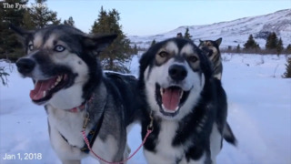 Watch how the Denali National Park sled dogs spent the winter