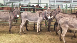 Need a burro? These cute geldings are in Paso Robles looking for a home.