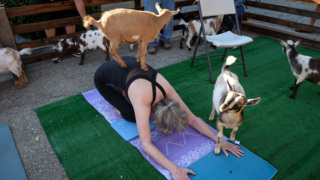 Goat yoga class mixes fun, exercise and a good cause