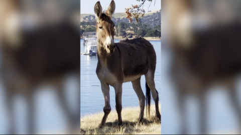 Donkey remains trapped on Lake McClure island as 'glitch' in law delays rescue