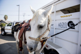 Bad news: Livingston police horse Sonny has a tumor. Good news: You can help him out