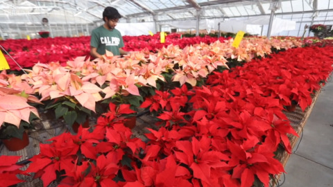 Cal Poly has 4,000 colorful poinsettias for sale. Here's how to get one