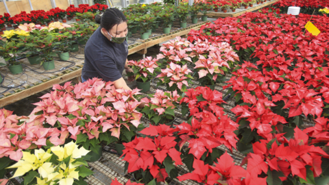 Cal Poly's annual poinsettia sale is back — here's how to get them before they're gone