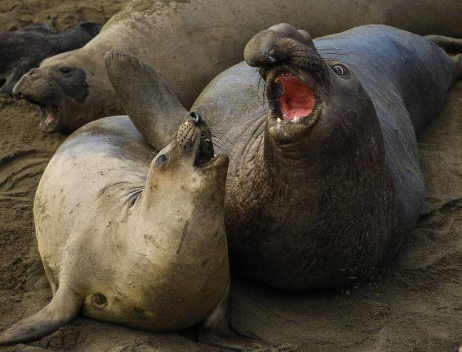 Elephant seals returning to Piedras Blancas this fall after annual migration