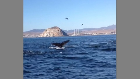Watch orcas, dolphins and humpback whales make some waves near Morro Bay