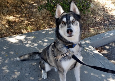 Pet Tales: Utah the athletic husky is looking for a forever home