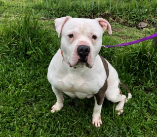 Pet Tales: Meet Brutus, a sweet American bulldog ready for his forever home