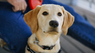 This cute yellow Lab puppy is learning to hunt truffles on California farm