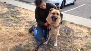 Zeus the German shepherd is waiting for a loving family