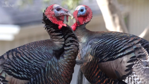 Wild turkeys are a blessing — Tribune's negative piece was a fowl call