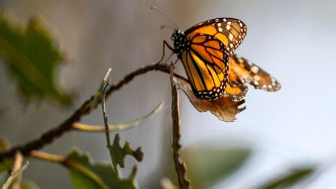 Salud Carbajal visits Pismo Beach butterfly grove, says declining numbers 'cry out crisis'