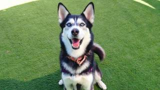 Charlie the husky is ready to be adopted in SLO County