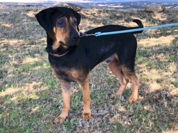 Pet Tales: Meet Cody, a coonhound mix looking for a loving home
