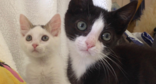 Meet Jack and Jackie — Two playful kittens ready to be adopted in SLO County