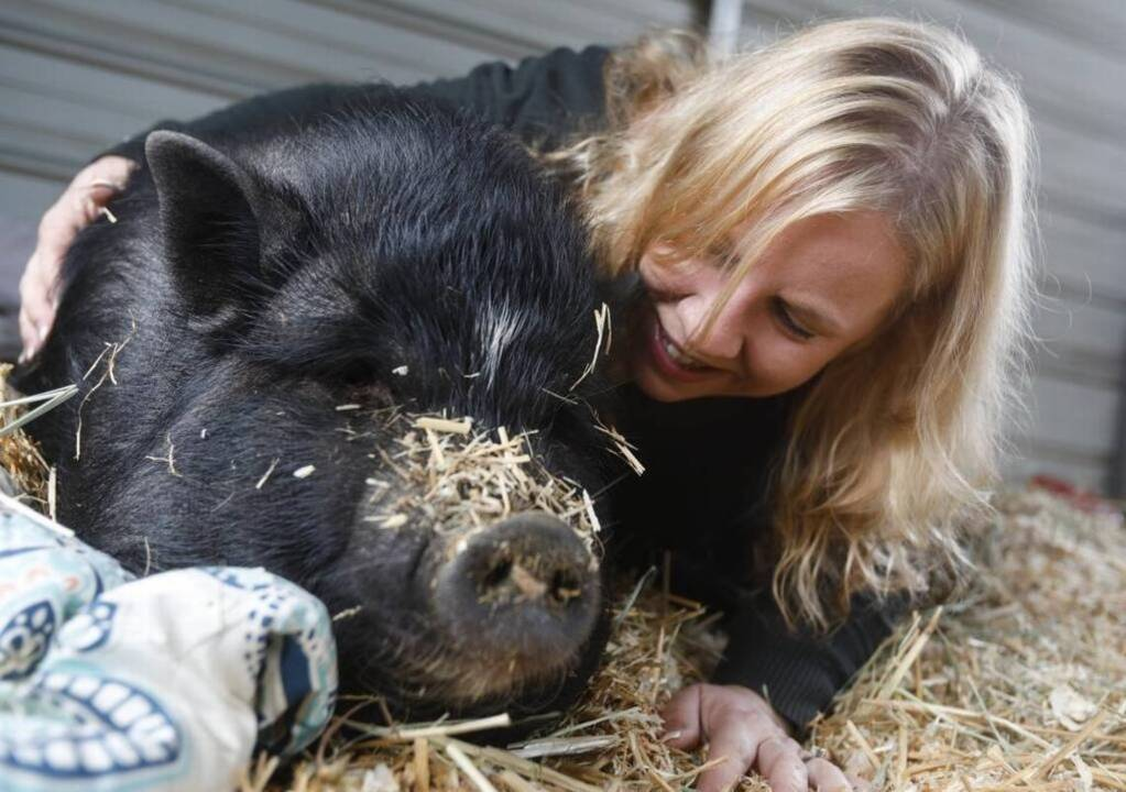 Arcata cops: Humboldt County pet pig slaughtered by neighbor