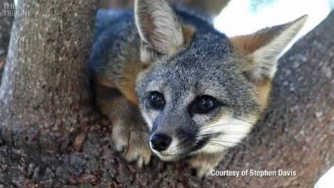 We had a chance to help Arroyo Grande's friendly fox. Instead, we killed it