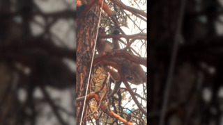 Raw video: Drugged mountain lion hisses back at California researcher