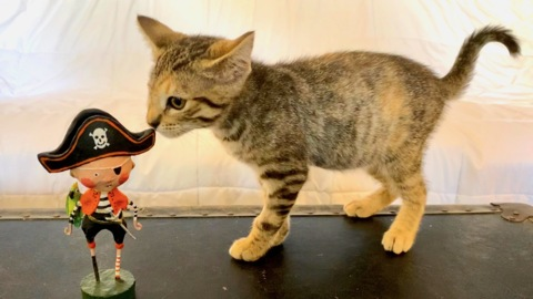 Copper the one-eyed 'pirate kitty' is looking for a forever home