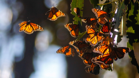 Watch with wonder as Monarchs flutter at California's Pismo Beach Butterfly Grove