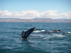 Humpback whales circle a whale-watching boat near Morro Bay
