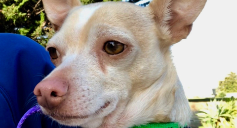 Jasper the chihuahua is ready for his forever home in SLO County