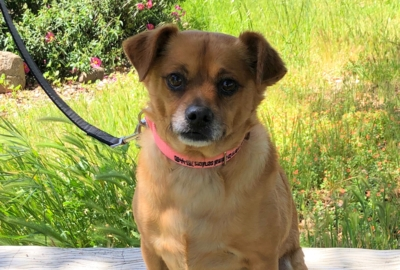 Pet Tales: Meet Justin, a soulful Chihuahua mix looking for a forever home