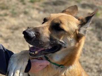 Pet Tales: Scooter the playful German shepherd needs a new home