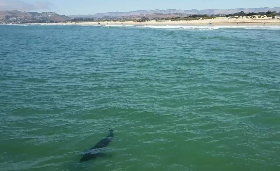 Large shark captured in drone video swimming off Oceano